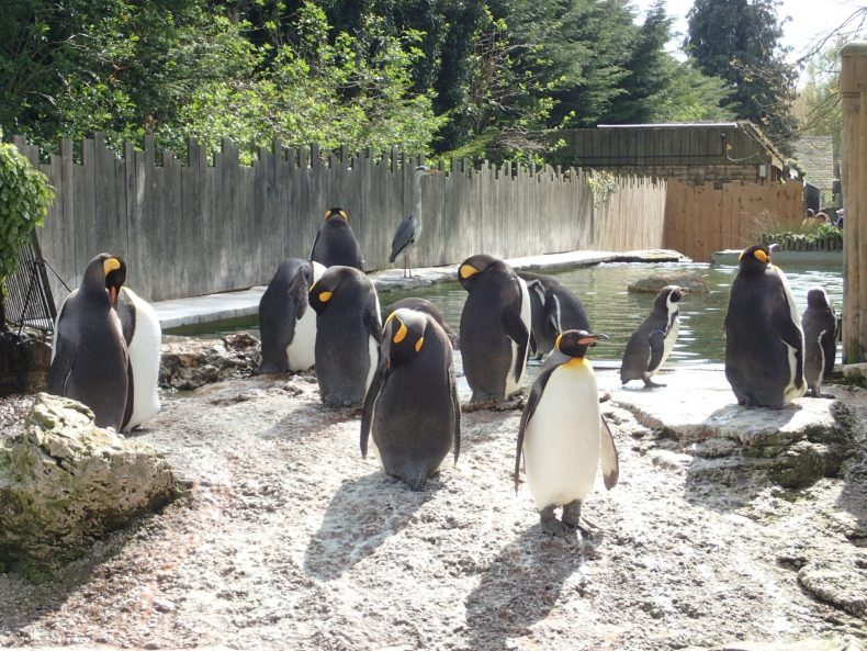 Penguins at Birdland in the Cotswolds, great day out with the kids