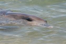 Delfine Monkey Mia Shark Bay2