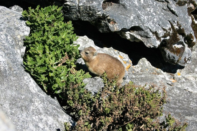 Kapstadt Highlights Tafelberg Klippschliefer