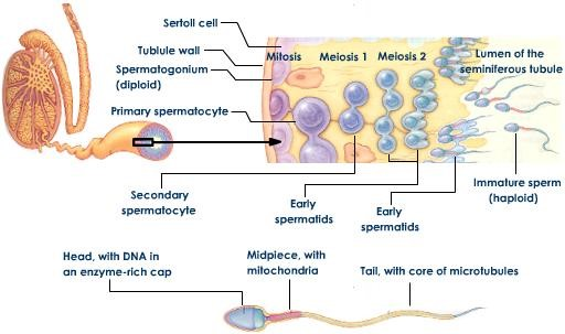 MCE - Physiology of Sperm Production