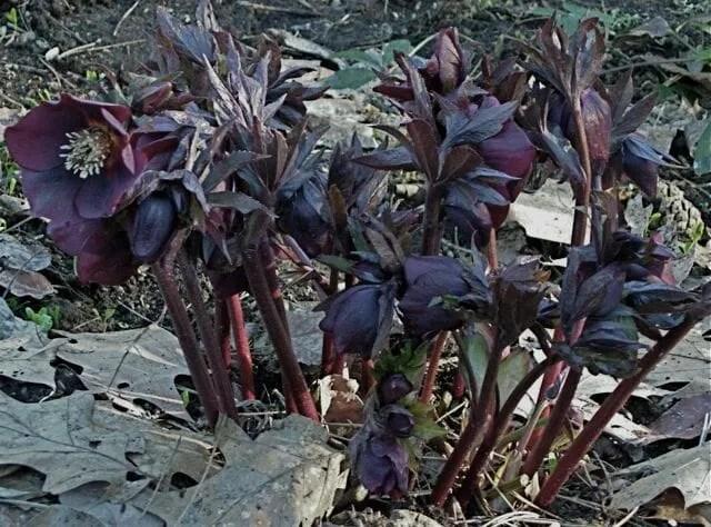 black orientalis hybrid