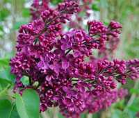 a glossary of favorite lilacs