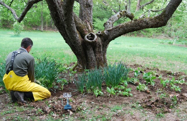 underplanting an old apple tree with ground covers