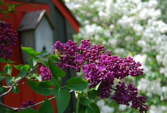 lilac-opener1
