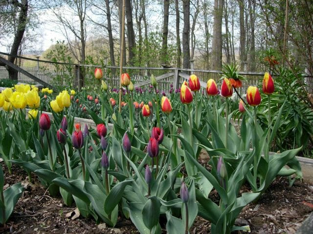 tulips-in-veg-garden