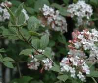 great shrub: koreanspice viburnum, v. carlesii