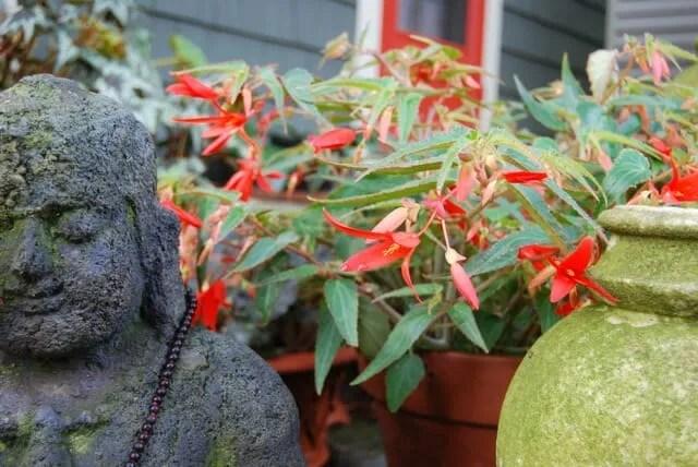 begonia-buddha