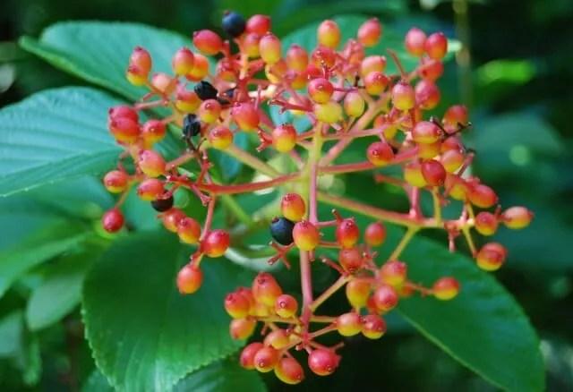 viburnum-sieboldii
