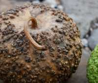 warts and all: the 'bule' gourd gang