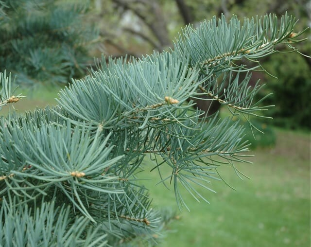 beloved conifer: the concolor fir - A Way To Garden