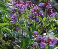 Lathyrus vernus, purple form
