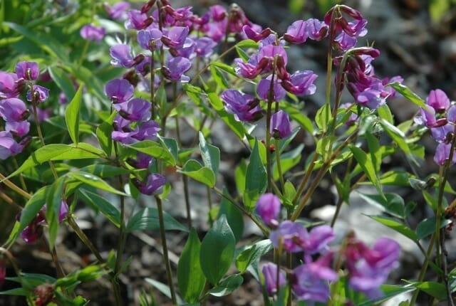 Lathyrus vernus, purple form