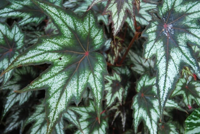 little-brother-montgomery-begonia