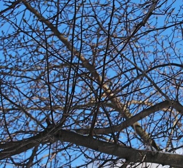 magnolia-pruning-2