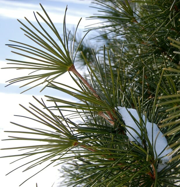 umbrella-pine-detail