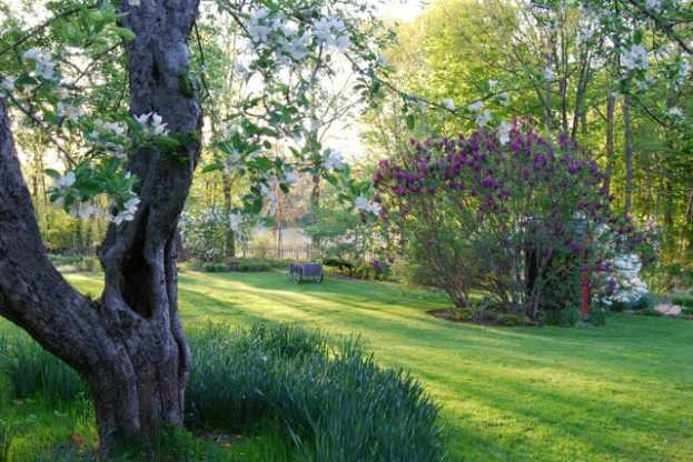 looking-past-an-old-apple-to-agincourt-beauty-lilacs.jpg
