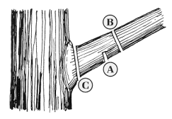 natl-arbor-day-foundation-pruning-illustration