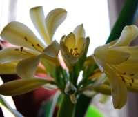 hello, pretty baby: my yellow clivia blooms