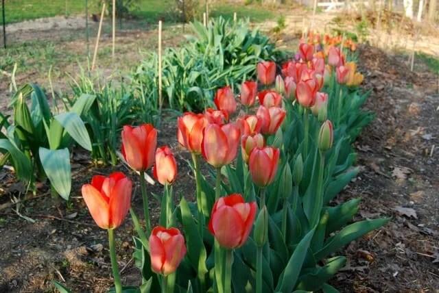 cutting-tulips
