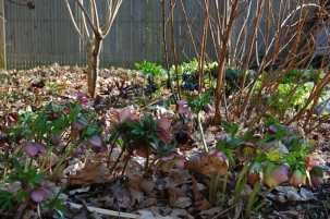 hellebore-under-shrubs.jpg