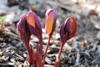 species-peony-early-spring.jpg