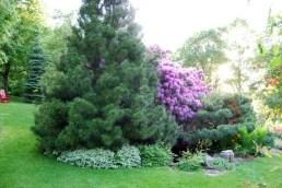 umbrella-pine-spring.jpg