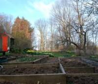 'harvesting' perennials, planting vegetables