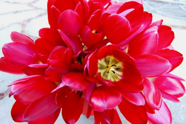 bouquet-tulips-red