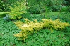gold-form-of-yew-taxus-baccata-repandens.jpg