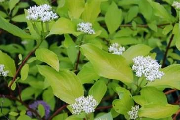 gold-leaf-red-twig-dogwood-flower.jpg