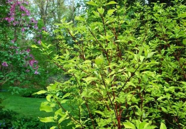gold-leaf-red-twig-dogwood.jpg