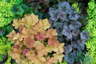 may-30-heucheras.jpg