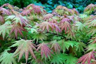 may-30-japanese-maple.jpg