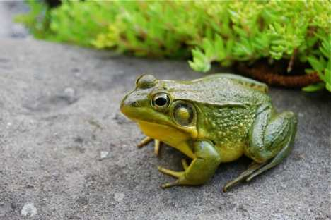may-30-male-green-frog.jpg
