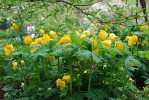 stylophorum-diphyllum-clump.jpg