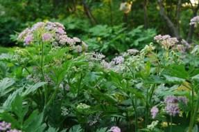 chaerophyllum-hirsutum-roseum.jpg