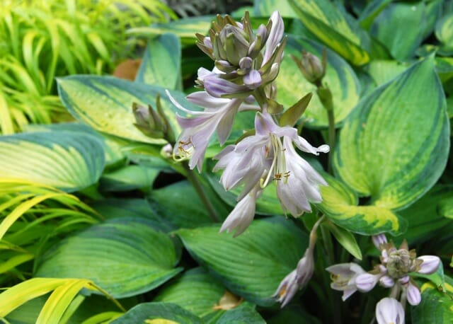 flower-of-hosta-june
