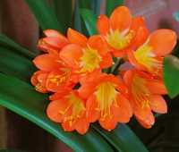 andre's on vacation, but my clivia isn't