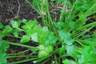 parsley-cutting