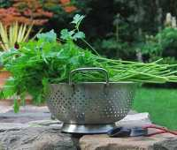 growing and storing a year of parsley
