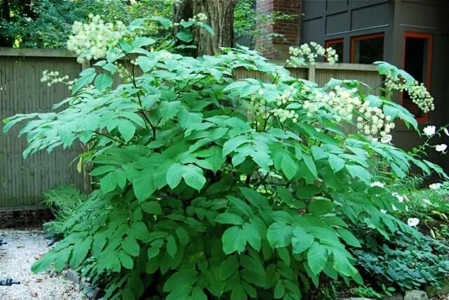 aralia cordata foliage and flowers