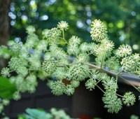 aralia cordata flowers