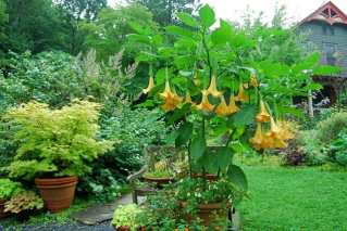 front-walk-with-brugmansia