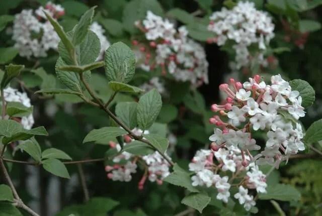 viburnum-carlesii