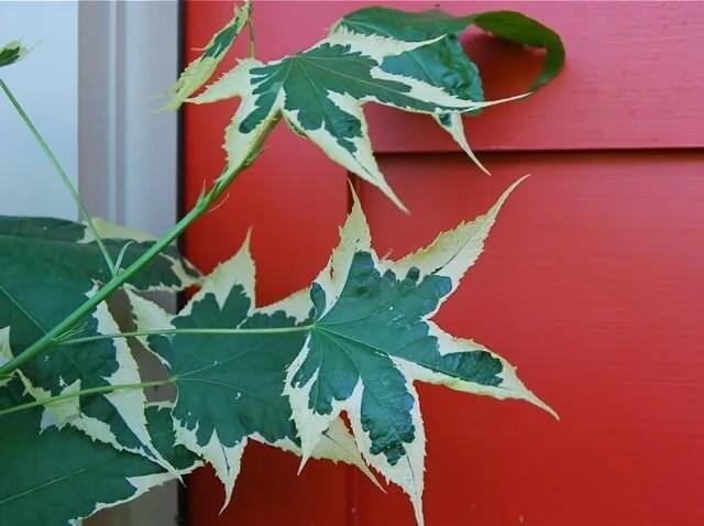 abutilon leaves