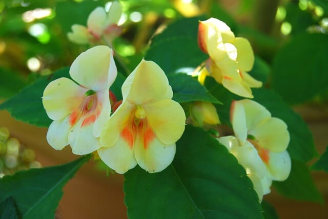 impatiens downy mildew forecast: too soon to tell - A Way To Garden
