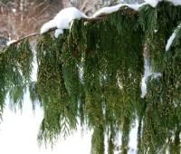 beloved conifers: recap of coziest woody plants