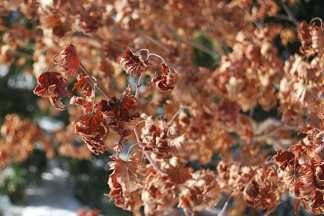 acer-pseudosieboldianum-february