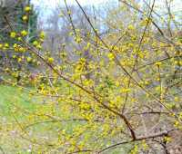 in bloom now: oh-so-sunny cornus mas