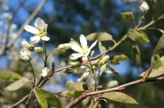 amelanchier-blossom